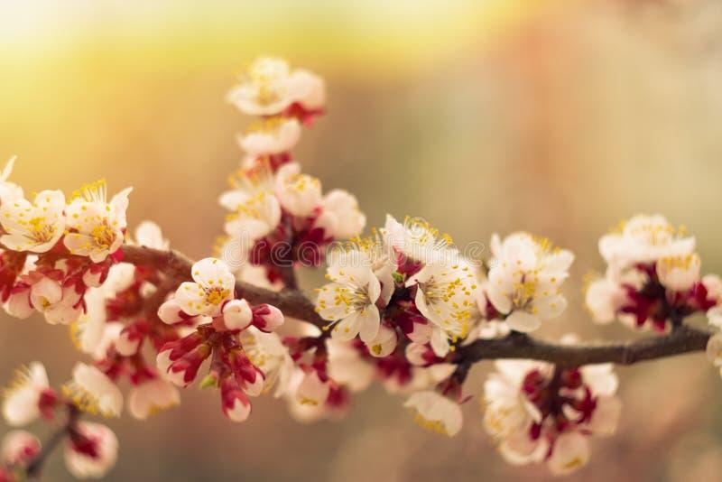 春天嫩杏子樱花词根照片在软的温暖的阳光下 免版税库存照片