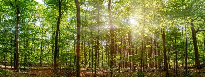 春天寂静的森林,美丽明亮的阳光 免版税库存图片