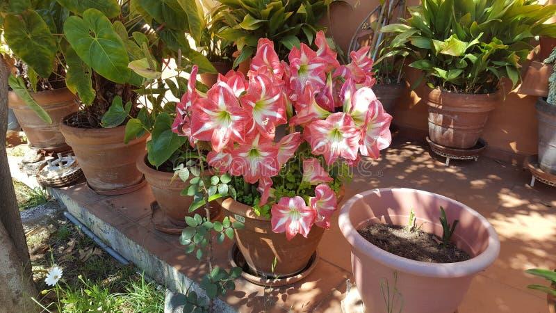 春天庭院上升了 免版税库存照片