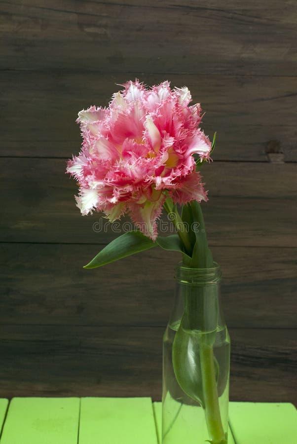 春天开花在花瓶的桃红色郁金香 免版税库存照片