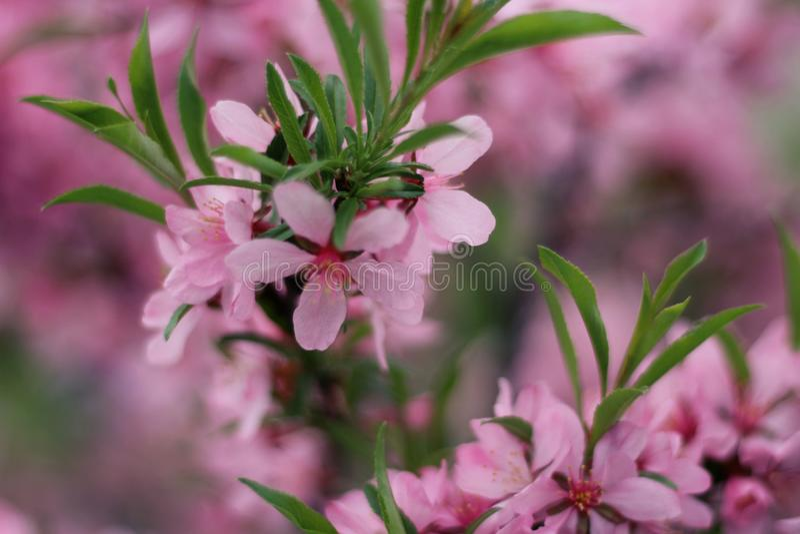 春天开花庭院有桃红色花的樱花在绿色弄脏了在庭院设置,特写镜头的背景 库存照片