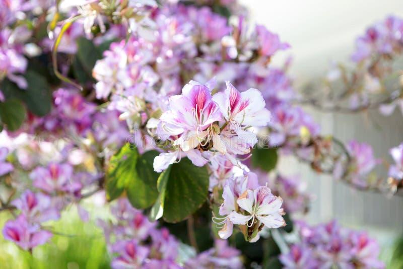春天开花柔软 樱桃在天空蔚蓝背景的洋李明亮的花  深蓝粉色对比 图库摄影