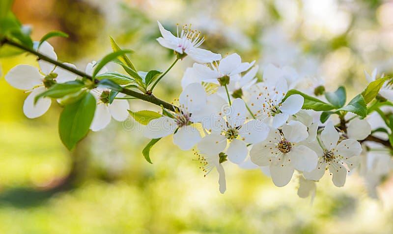 春天开花树背景 库存照片