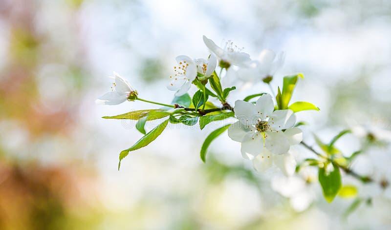 春天开花树背景 免版税库存照片