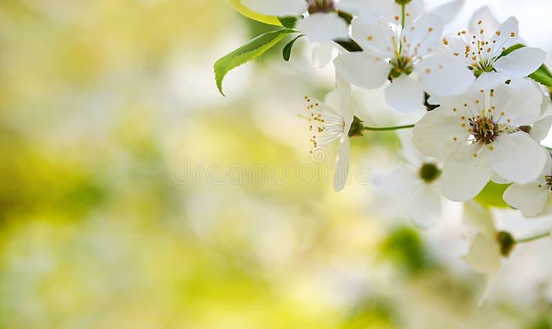 春天开花树背景 免版税库存图片