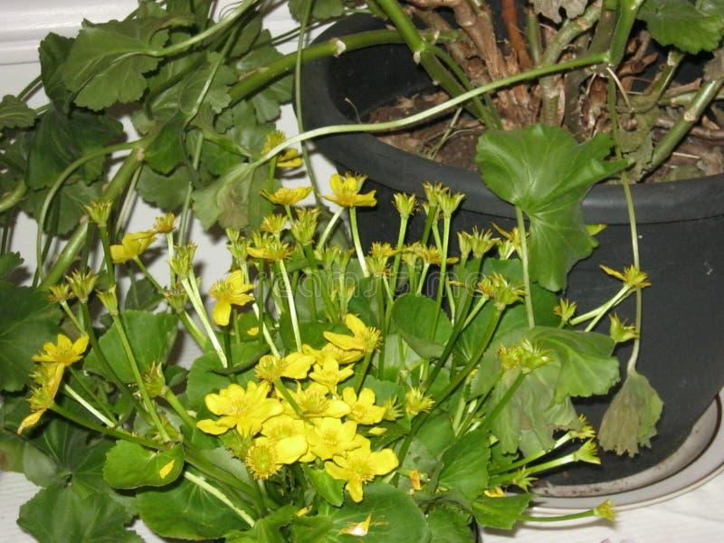春天开花植物黄色在沼泽的驴蹄草 免版税库存照片
