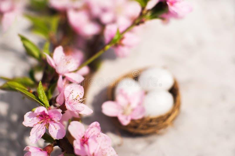 春天开花概念 复活节概念、鸡蛋在巢,开花的树特写镜头和拷贝空间 自然fl桃红色自然纹理  免版税库存图片