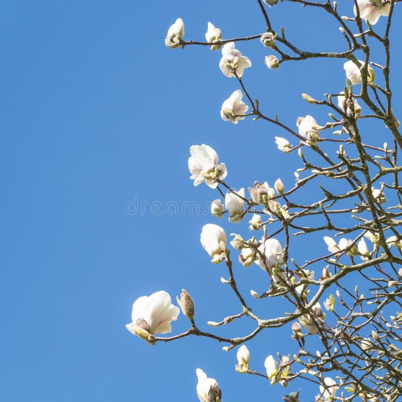 春天开花的木兰 免版税库存照片