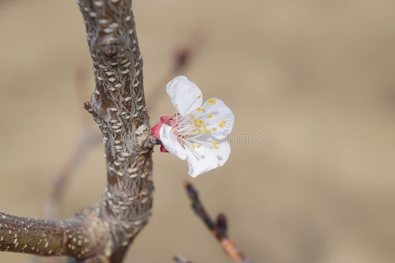 春天开花的树 杏子花的授粉  开花的狂放的杏子在庭院里 库存图片