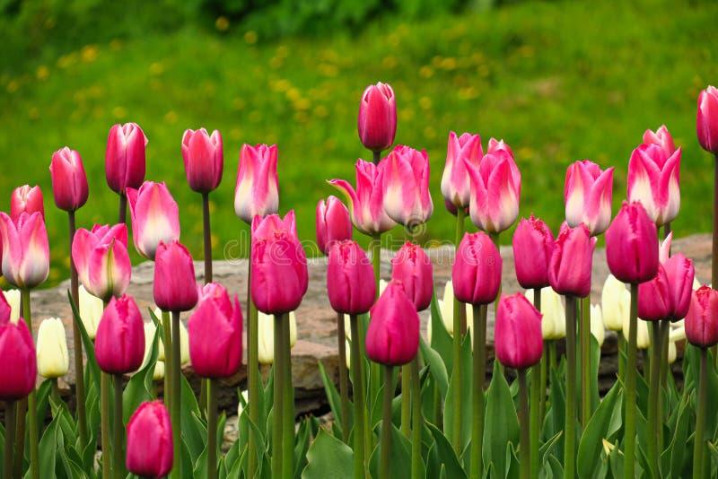 春天开花的桃红色郁金香景色 郁金香在春天开花的庭院里 开花的桃红色郁金香花春天 春天绽放桃红色 免版税库存照片