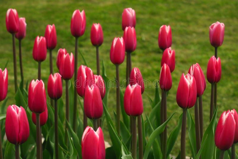 春天开花的桃红色郁金香景色 郁金香在春天开花的庭院里 开花的桃红色郁金香花春天 春天绽放桃红色 库存图片