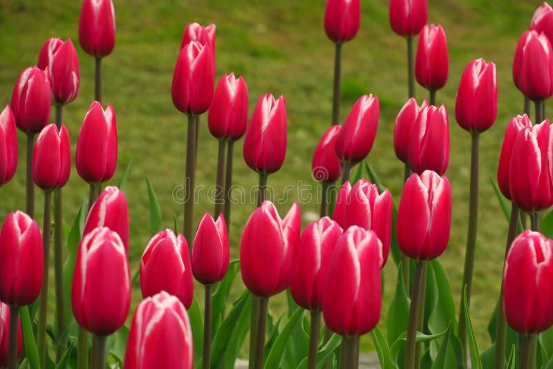 春天开花的桃红色郁金香景色 郁金香在春天开花的庭院里 开花的桃红色郁金香花春天 春天绽放桃红色 免版税图库摄影