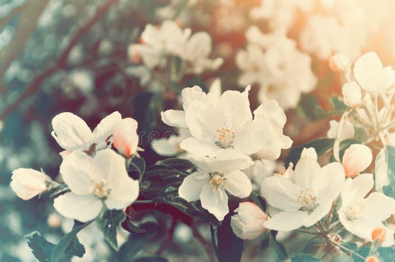 春天开花的苹果开花-在淡色葡萄酒口气的天然泉花卉背景 图库摄影
