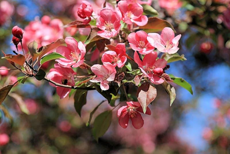 春天开花的苹果树美丽的桃红色花  库存图片