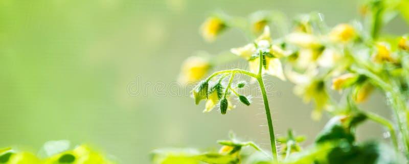 春天开花的年轻蕃茄幼木植物在迷离绿色bac的 免版税库存照片