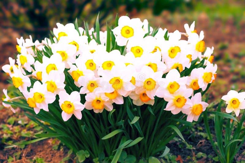 春天开花的narcissuses,选择聚焦,被定调子 水仙花黄色,白色 黄水仙白色黄色 水仙L 图库摄影