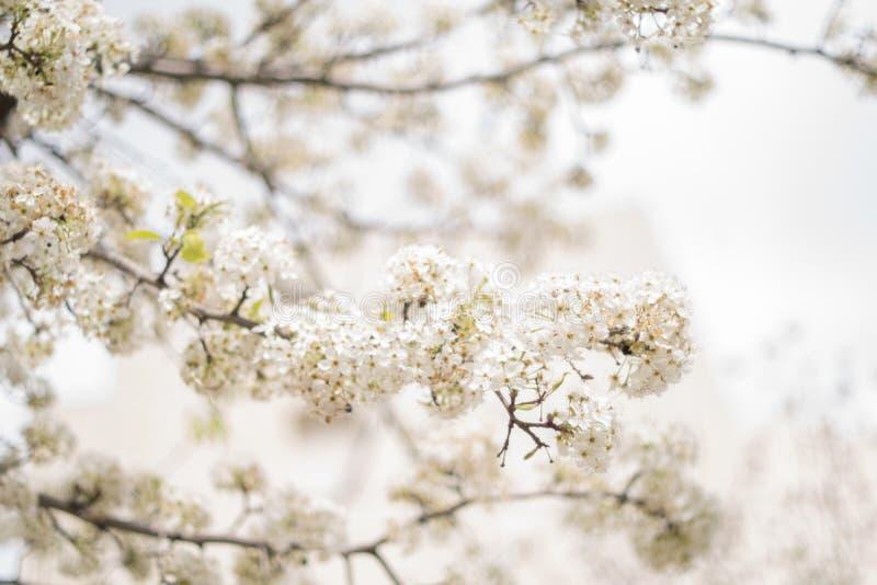 春天开花背景、绿色叶子和白花 免版税图库摄影