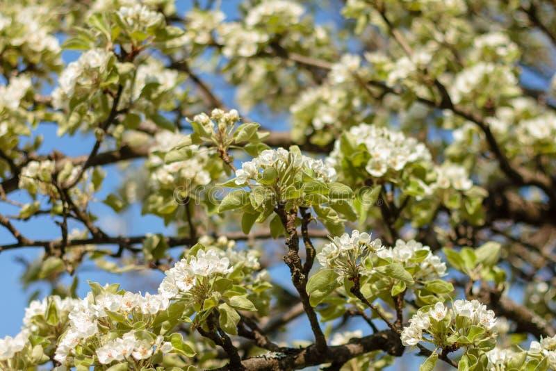 春天开花艺术设计 果树园场面 与光束的开花的树 背景美好的绿色本质 库存图片