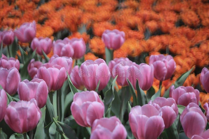 春天开花黄水仙和郁金香 免版税库存图片