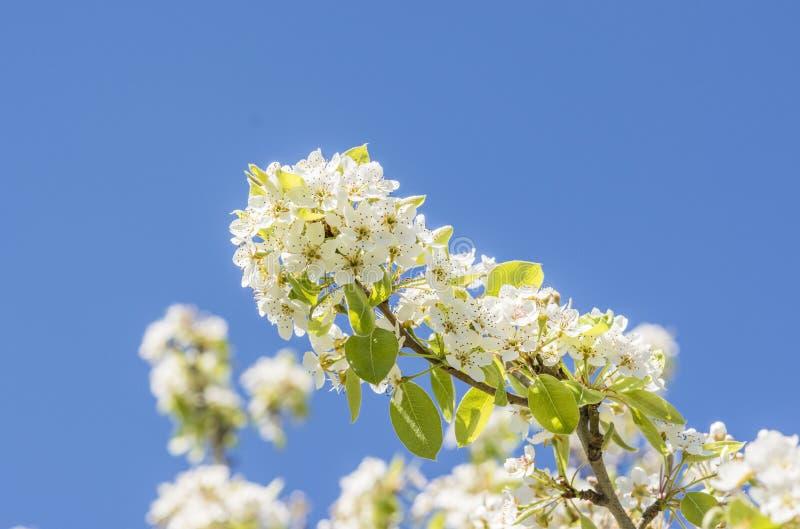 春天開花洋梨樹,草本種屬科學名字的pyrus圖片