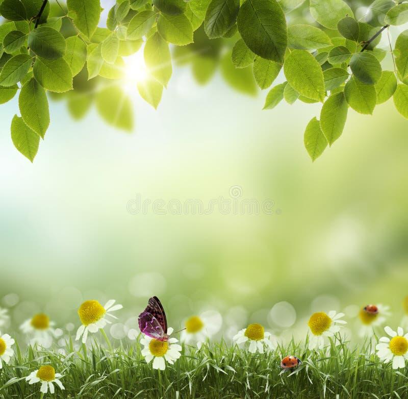 春天或夏天热摘要.chamomile花 库存图片
