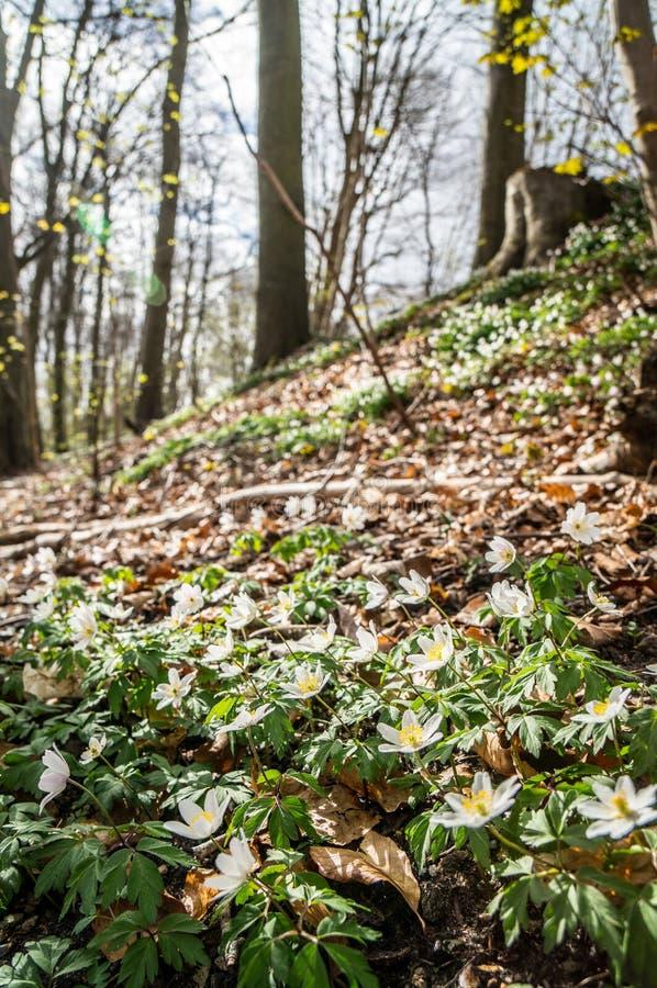 春天放光美丽的白色银莲花属 免版税库存图片