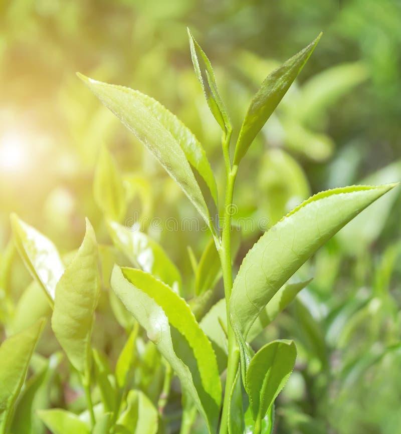 春天日落绿色锡兰茶在斯里兰卡 库存照片