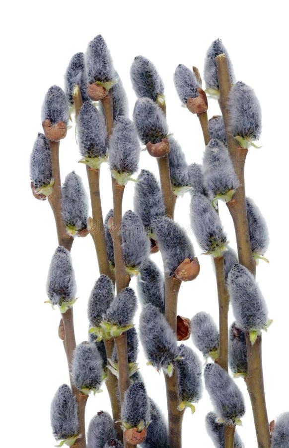 春天有花蕾狂放的湖杨柳灌木被隔绝的宏指令的4月枝杈 免版税库存照片
