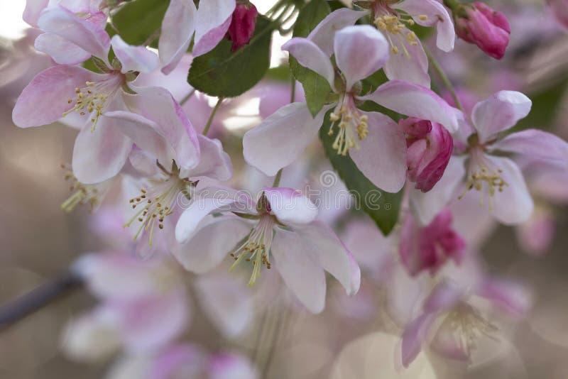 春天有被过滤的阳光的crabapple开花 免版税库存照片