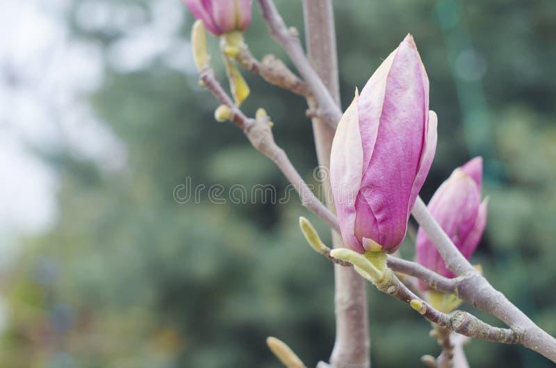 春天木兰桃红色在树的分支发芽 开花木兰花本质上 美好的春天绽放 免版税图库摄影