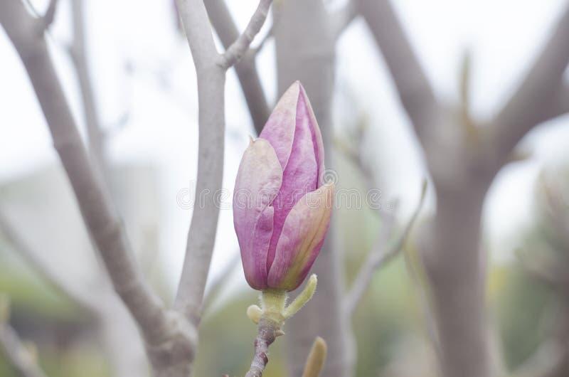 春天木兰桃红色在树的分支发芽 开花木兰花本质上 美好的春天绽放 免版税库存图片