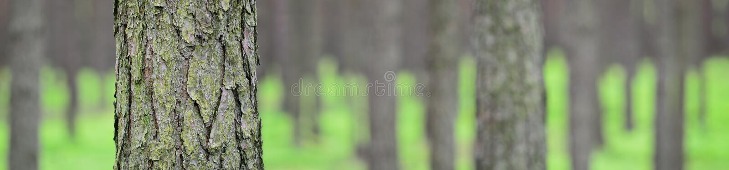 春天杉木森林的全景图片。 免版税图库摄影