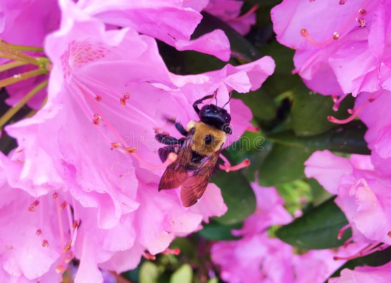 春天来临,花来临,蜂出来收集蜂蜜 库存图片