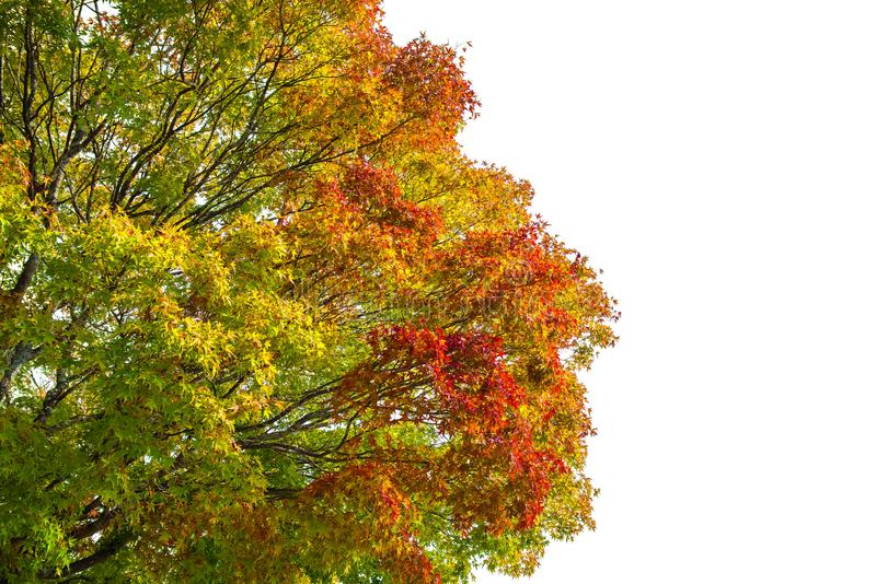 春天枫叶颜色变动红色绿色橙黄在白色背景 免版税库存图片