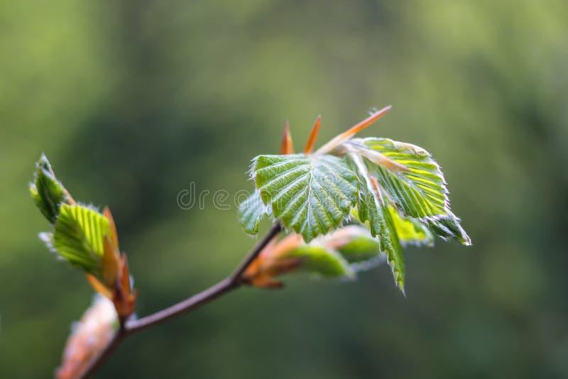 春天树叶的萌芽 库存照片