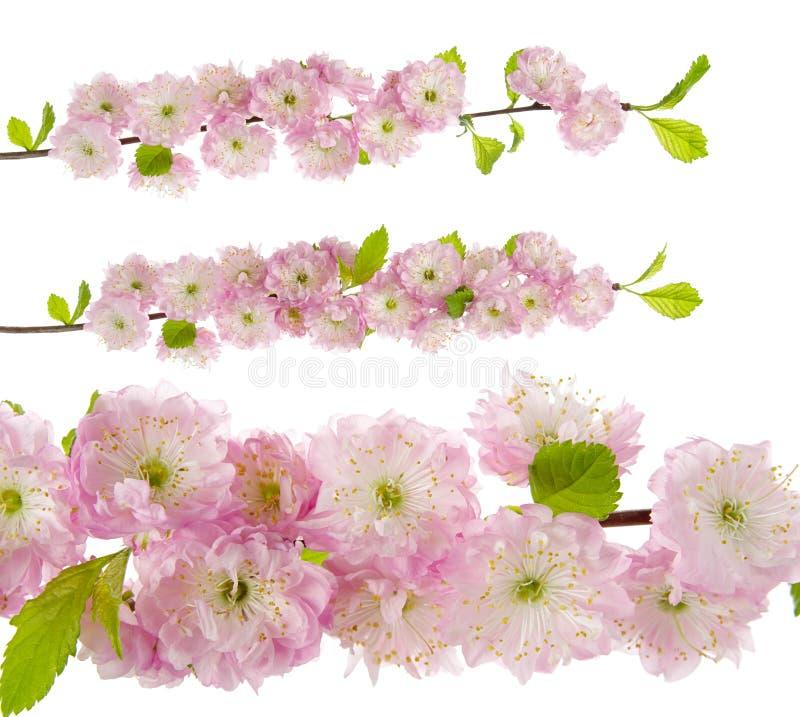 春天桃红色榆叶梅与在白色背景隔绝的鲜花和叶子的树枝,特写镜头 图库摄影