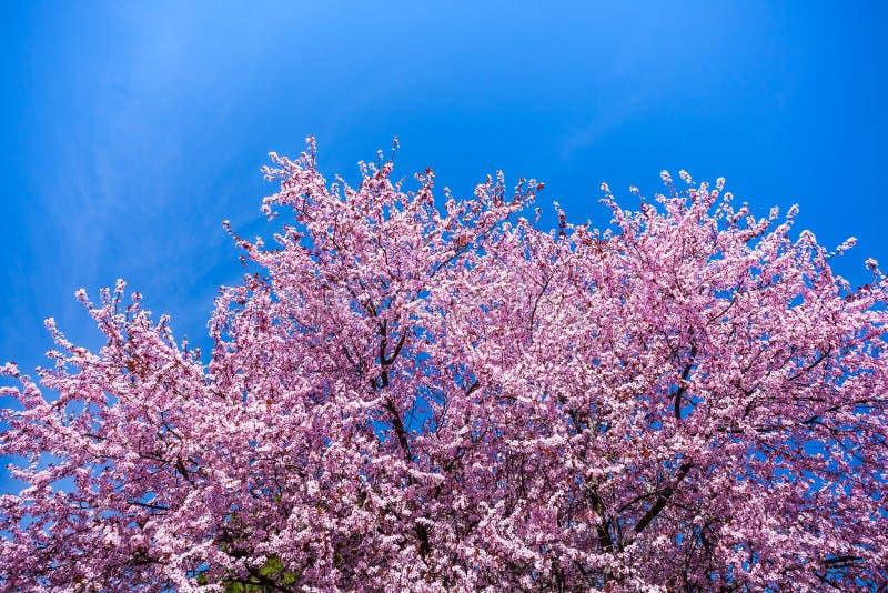 春天桃红色樱花有蓝天背景 免版税库存照片