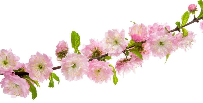春天桃红色花在绽放的扁桃在与在白色背景隔绝的绿色叶子的分支 免版税库存照片