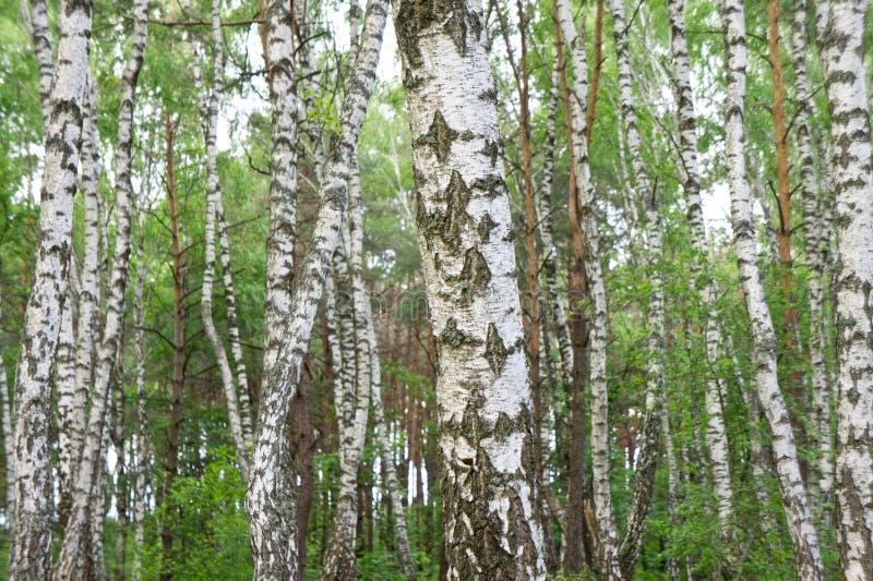 春天桦树树丛在一个密集的美丽的森林里 图库摄影