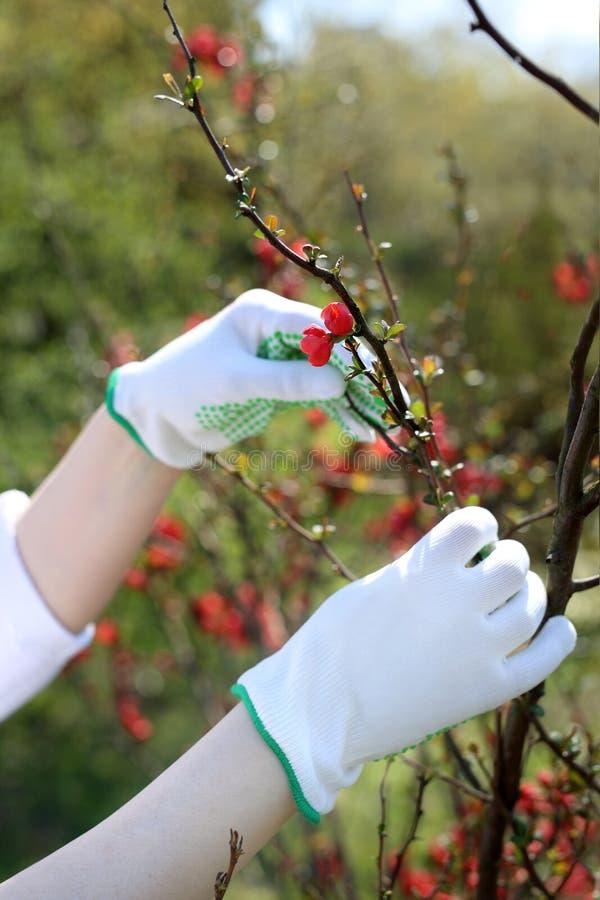 春天植物关心 花匠检查在柑橘灌木的射击 免版税库存图片