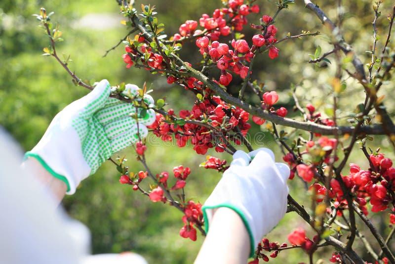 春天植物关心 花匠检查在柑橘灌木的射击 图库摄影