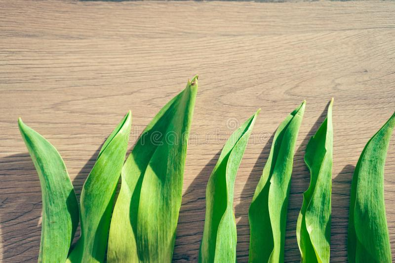 春天概念-在木背景的郁金香叶子 免版税库存照片