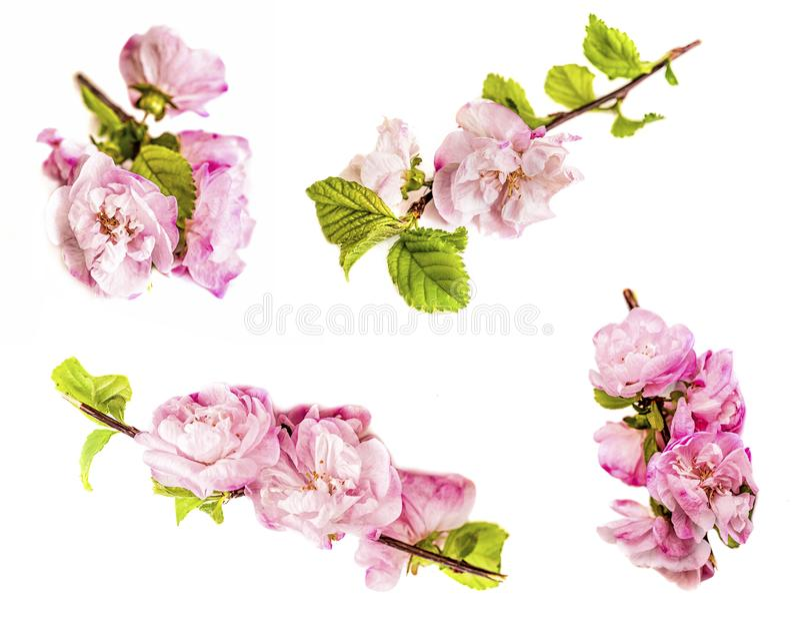 春天樱桃花设置了,在白色背景隔绝的桃红色花 库存图片