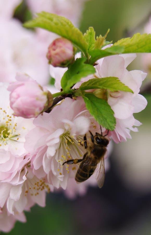 春天樱桃 免版税图库摄影