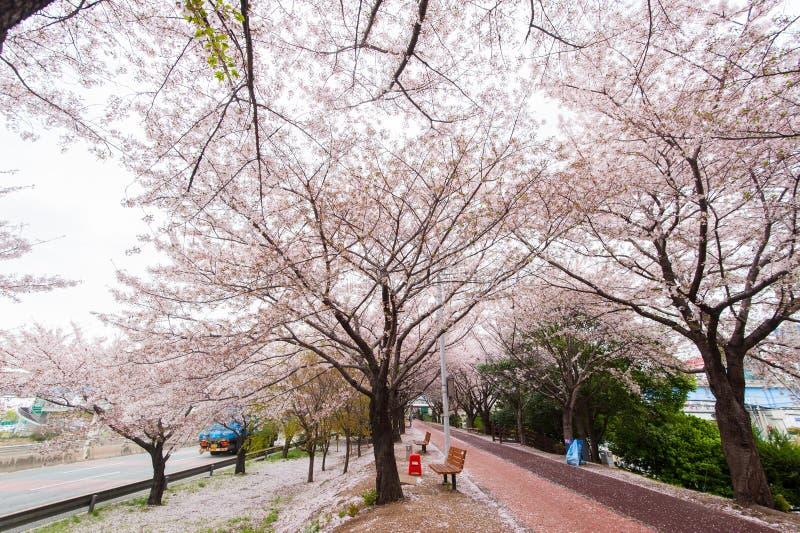 春天樱花季节,釜山,韩国 免版税库存图片