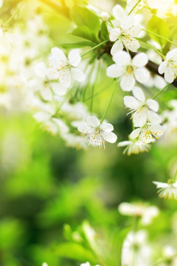 春天樱花特写镜头,在被弄脏的绿色ba的白花 免版税图库摄影