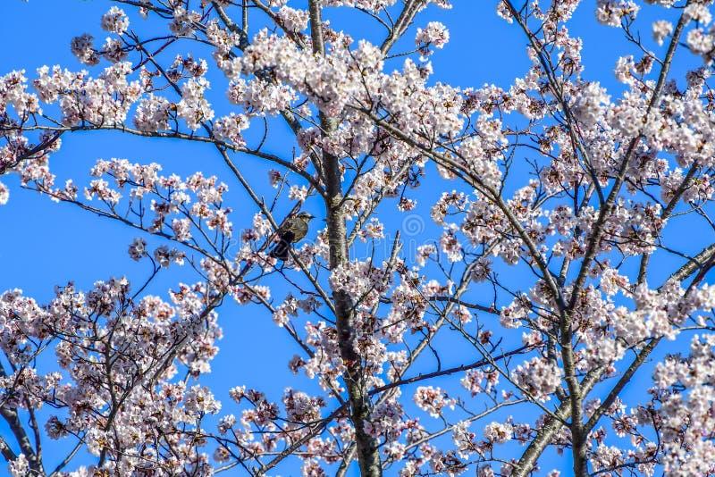 春天樱花蓝天 库存图片