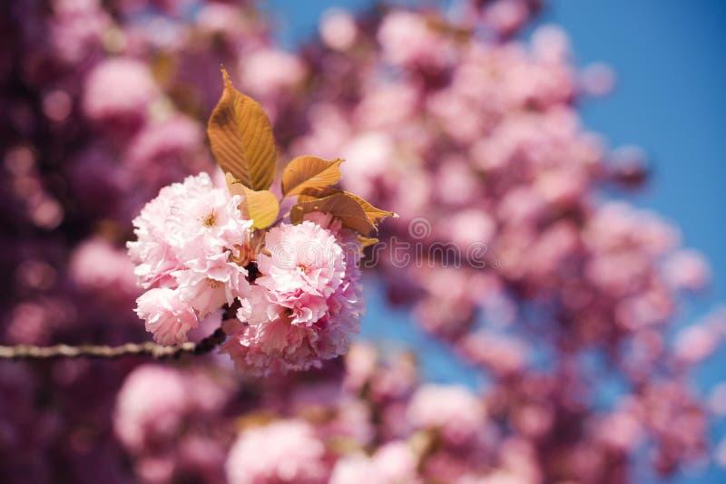 春天樱花,桃红色花关闭  佐仓树在公园 日本樱桃树在春天 佐仓开花 免版税库存图片