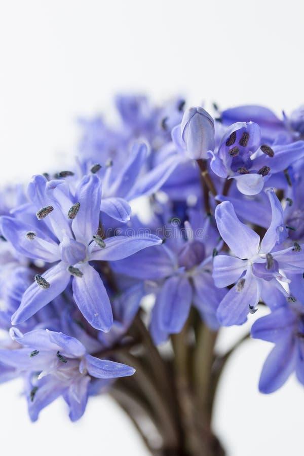 春天海葱(Scilla bifolia) 免版税库存图片