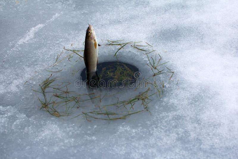 春天渔 从熔化冰孔的河鳟渔 免版税库存图片
